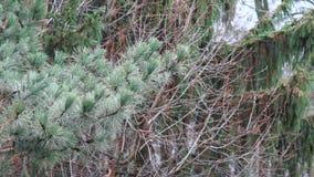 Ramas del pino sacudidas levemente del viento almacen de video