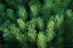 Ramas del pinus L del pino fotos de archivo libres de regalías