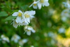 Ramas del primer floreciente del jazmín Fotografía de archivo