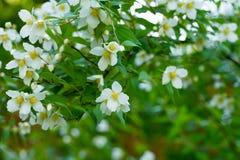 Ramas del primer floreciente del jazmín Foto de archivo libre de regalías