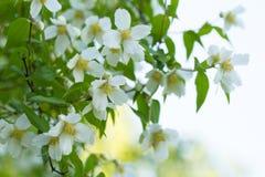 Ramas del primer floreciente del jazmín Foto de archivo