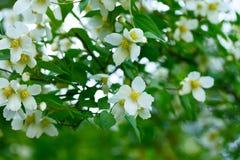 Ramas del primer floreciente del jazmín Imagen de archivo