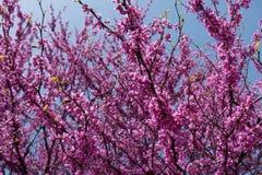 Ramas del redbud del este en la plena floración Imagenes de archivo