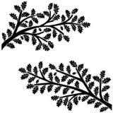 Ramas del roble con las hojas y las bellotas aisladas en el fondo blanco Fotografía de archivo libre de regalías