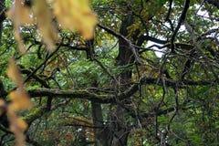 Ramas del roble cubiertas con el musgo en matorrales del bosque Fotos de archivo libres de regalías