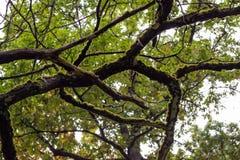 Ramas del roble cubiertas con el musgo en matorrales del bosque Fotografía de archivo