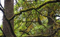 Ramas del roble cubiertas con el musgo en matorrales del bosque Foto de archivo libre de regalías