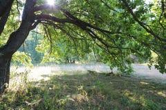 Ramas del roble en la luz del sol de la mañana en el bosque Imagen de archivo libre de regalías