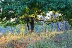Ramas del roble en la luz del sol de la mañana en el bosque Foto de archivo