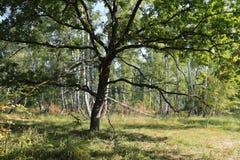 Ramas del roble en la luz del sol de la mañana en el bosque Fotos de archivo