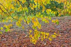 Ramas del tilo y del césped del otoño cubiertos por las hojas caidas Imagen de archivo