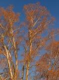 Ramas deshojadas de un árbol contra un cielo frío del invierno Foto de archivo libre de regalías