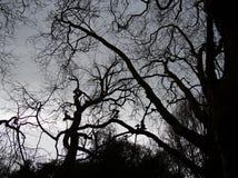 Ramas deshojadas fantasmagóricas Fotografía de archivo libre de regalías