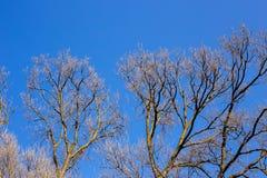 Ramas desnudas de un árbol contra el cielo azul Imagen de archivo libre de regalías