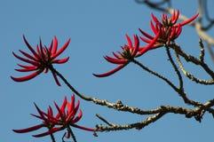 Ramas desnudas del árbol coralino con las flores rojas contra el cielo azul imágenes de archivo libres de regalías