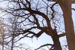Ramas desnudas del abedul contra el cielo azul Imagen de archivo libre de regalías