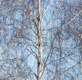 Ramas desnudas del abedul contra el cielo azul Imágenes de archivo libres de regalías
