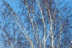 Ramas desnudas del abedul contra el cielo azul Fotos de archivo