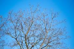 Ramas desnudas del abedul contra el cielo azul Imagenes de archivo