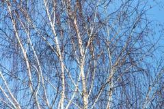 Ramas desnudas del abedul contra el cielo azul Foto de archivo libre de regalías
