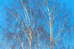 Ramas desnudas del abedul contra el cielo azul Fotografía de archivo libre de regalías