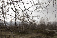 Ramas desnudas del abedul en el bosque temprano de la primavera Imagen de archivo