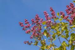 Ramas dobles de la lila contra el cielo Fotos de archivo libres de regalías