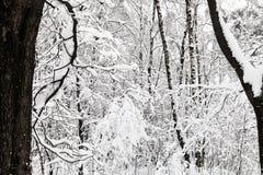 ramas entrelazadas nevadas en bosque del invierno Imagenes de archivo