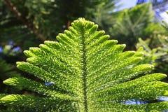 Ramas espinosas verdes de un piel-árbol o de un pino Foto de archivo libre de regalías