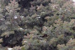 Ramas espinosas verdes de un piel-árbol o de un pino foto de archivo