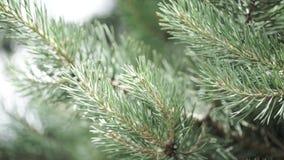 Ramas espinosas verdes de un piel-árbol o de un pino Ramas agradables del abeto Cierre para arriba Verde fresco imperecedero bril almacen de video