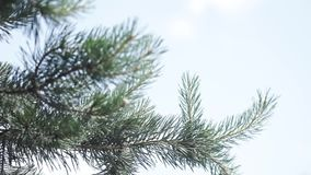 Ramas espinosas verdes de un piel-árbol o de un pino Ramas agradables del abeto Cierre para arriba Verde fresco imperecedero bril metrajes