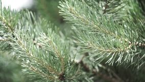 Ramas espinosas verdes de un piel-árbol o de un pino Ramas agradables del abeto Cierre para arriba Verde fresco imperecedero bril almacen de metraje de vídeo