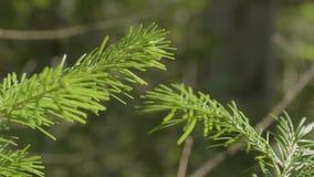 Ramas espinosas verdes de un piel-árbol o de un pino Primer del fondo de las ramas de árbol de abeto del pino de la Navidad Fondo metrajes
