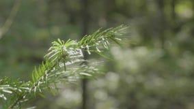Ramas espinosas verdes de un piel-árbol o de un pino Primer del fondo de las ramas de árbol de abeto del pino de la Navidad Fondo almacen de video