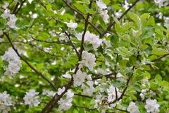 Ramas florecientes de árboles con las flores blancas de la manzana fotos de archivo