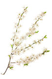 Ramas florecientes de la cereza Foto de archivo libre de regalías