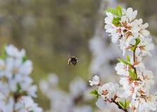 Ramas florecientes de la cereza y de una abeja de la miel en vuelo Imágenes de archivo libres de regalías