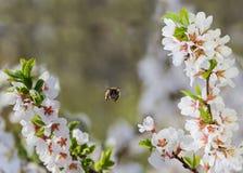Ramas florecientes de la cereza y de una abeja de la miel en vuelo Imagenes de archivo