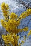 Ramas florecientes de la forsythia contra el cielo Fotos de archivo libres de regalías