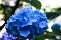 Ramas florecientes de la hortensia en la floración imagen de archivo libre de regalías
