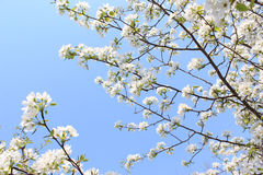 Ramas florecientes de la manzana Imagenes de archivo
