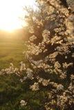 Ramas florecientes de la primavera en luz del sol fotografía de archivo libre de regalías