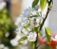 Ramas florecientes de polinización de la abeja de un árbol Foto de archivo libre de regalías