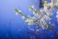 Ramas florecientes de un árbol imágenes de archivo libres de regalías