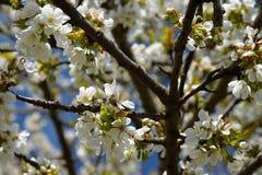 Ramas florecientes de una cereza en primavera en un día soleado Foto de archivo libre de regalías