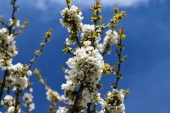 Ramas florecientes de una cereza en primavera en un día soleado Imagen de archivo