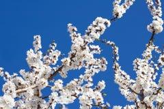 Ramas florecientes del albaricoquero Imagen de archivo libre de regalías