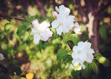 Ramas florecientes del manzano Imagenes de archivo