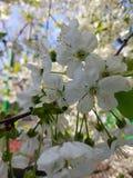 Ramas florecientes del manzano Flores blancas contra el cielo azul y la luz del sol brillantes Paisaje del resorte fotografía de archivo